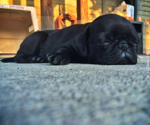 pug, puppy, and sleepy image