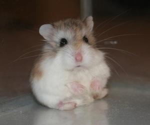 hamster, cute, and animal image
