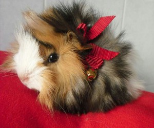 guinea pig, cute, and red ribbon image