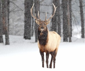 reindeer, snow, and winter image