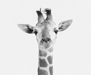animals, Girafe, and whitenblack image