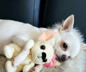 beautiful, chihuahua, and lovely image