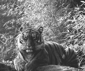 black, tigris, and outside image