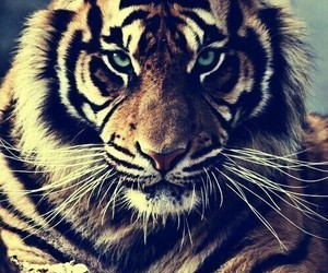 cool, tiger, and tigris image