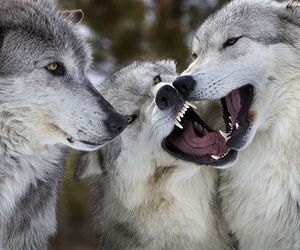 white, wolf, and wolves image