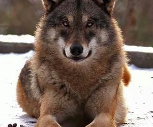 google, wolves, and rndangered image