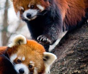 animal, Red panda, and panda image