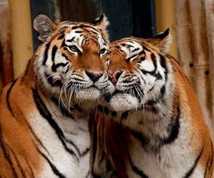 love, animal, and tiger image