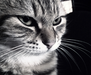 black and white, cat, and chat image