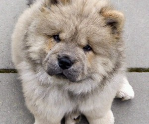 chow chow and cute dog image