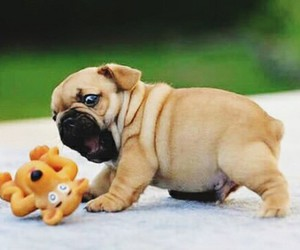 i love pugs and so adorable and cute image