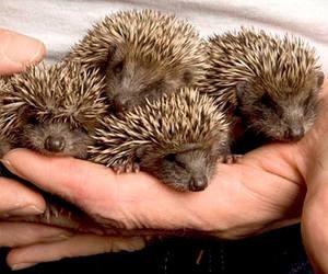 hedgehog image