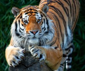 tiger and big cat image