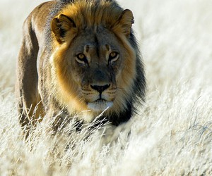 animals, lions, and savana image
