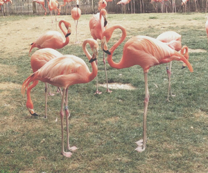 animals, beatiful, and flamingo image
