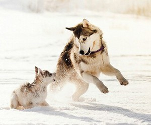 husky, snow, and northpole image