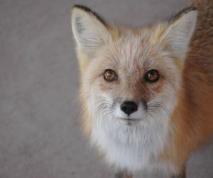 beauty, fox, and funny image