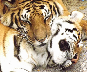 couple, tigres, and beto carreiro world image