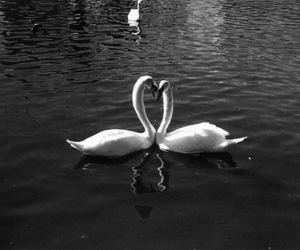 animals, black and white, and swans image