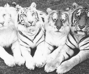 animal, stripes, and tigers image