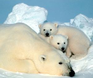 bear and Polar Bear image