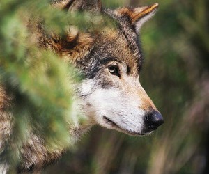 wolf, forest, and photography image