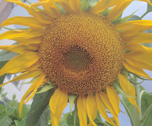 beauty and sunflower image