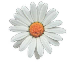 daisy, hipster, and white image