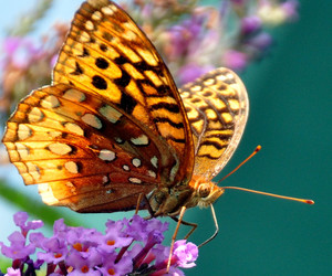 butterflies, butterfly, and flowers image