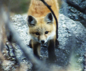 animals, fluffy, and fox image