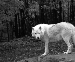 black and white, lobo, and loban image