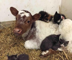 cats, cow, and friends image