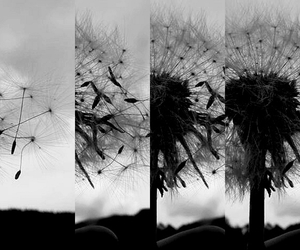 black and white, Collage, and dandelion image