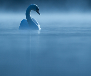 Swan, blue, and fog image