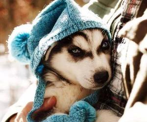 dog, cute, and husky image