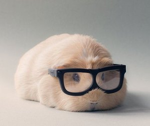 cute, animal, and guinea pig image