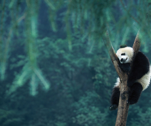 bear, nature, and panda image