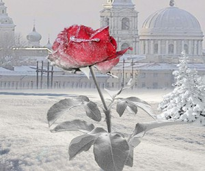 winter, snow, and rose image