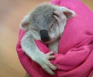 Koala, animal, and cute animals image