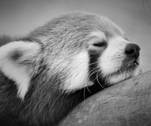 panda and Red panda image
