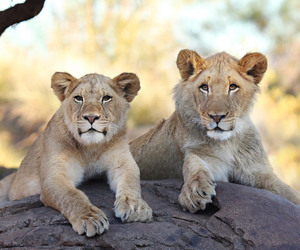 lion cubs, lions, and baby cub image