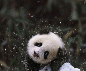 panda, cute, and snow image