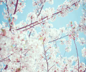 flowers, cherry blossoms, and nature image