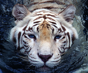 cat, tiger, and white image