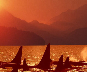 animal, group, and orca image