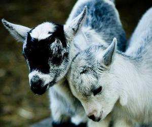 goat and animal image