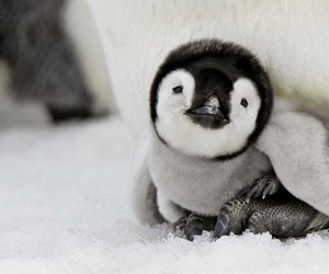 adorable, penguin, and animal image