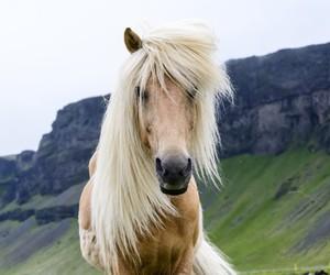 beautiful, horse, and iceland image