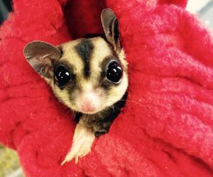 baby animals, sugar glider, and love image