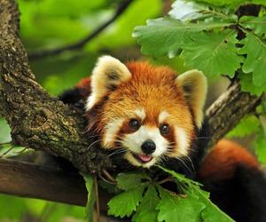 animal, panda, and photo image